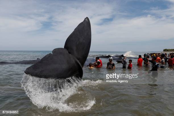 Stranded whales are seen as people are gathered at Ujong Kareung Beach in Aceh Indonesia on November 13 2017 Aceh rescue crews and members of...