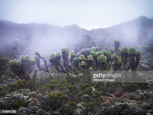 Strange Giant Groundsels (Senecio keniodendron), Mt Kilimanjaro, Tanzania