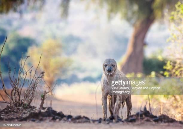 strange looking hyena with no ears in mana pools, zimbabwe - glitch art stock-fotos und bilder