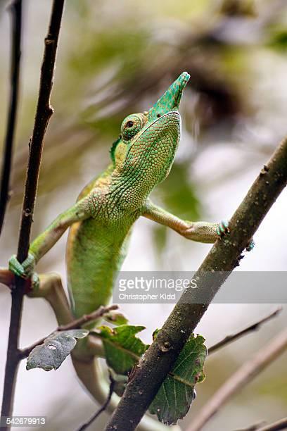 Strange-horned Chameleon