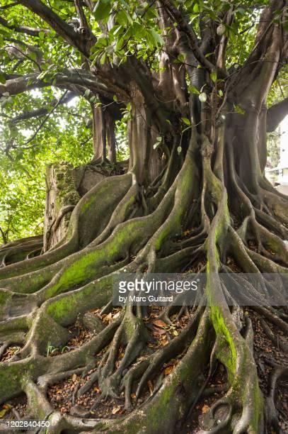 stranger fig tree, le francois, martinique - isla martinica fotografías e imágenes de stock