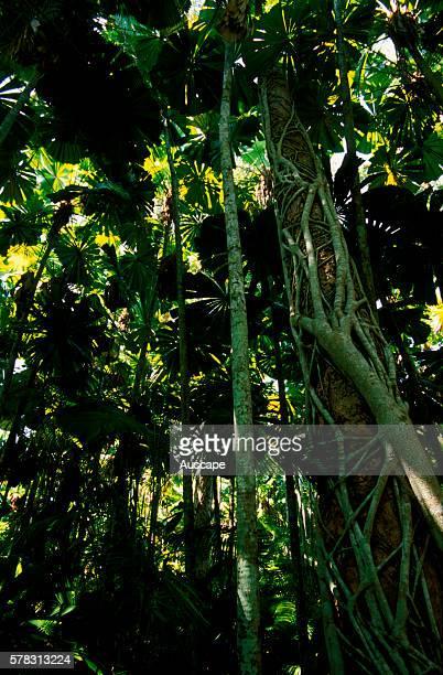 Strangler fig Ficus sp and Fan palms Lucuala ramsayi in Cassowary habitat Mission Beach North Queensland Australia