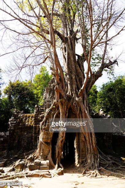 Strangler Fig on architecture of Ta Som, Siem Reap, Cambodia