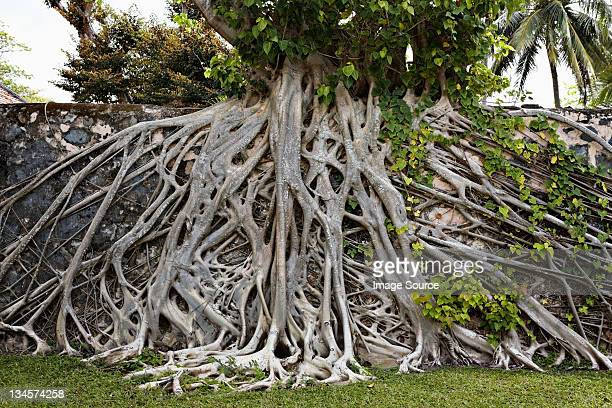 strangler fig tree in con dao island, vietnam - fig tree stock pictures, royalty-free photos & images