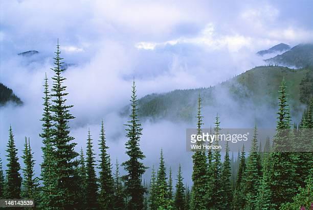 Stratus clouds in coast range subalpine fir forest Abies lasiocarpa Hurricane Ridge Olympic National Park Washington USA