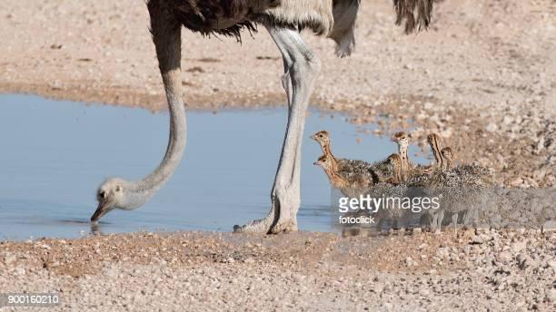 strauss familie mit küken im etosha nationalpark - waterhole stock pictures, royalty-free photos & images