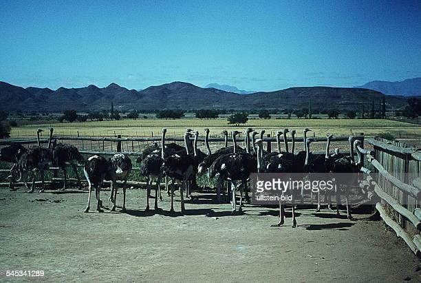 Strausse auf einer Straußenfarm- Mitte der 80er Jahre