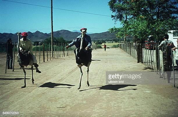 Straussenrennen auf einer Straußenfarm- Mitte der 80er Jahre