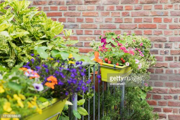 strawberries and various flowers growing in window box during summer - balcony stock pictures, royalty-free photos & images