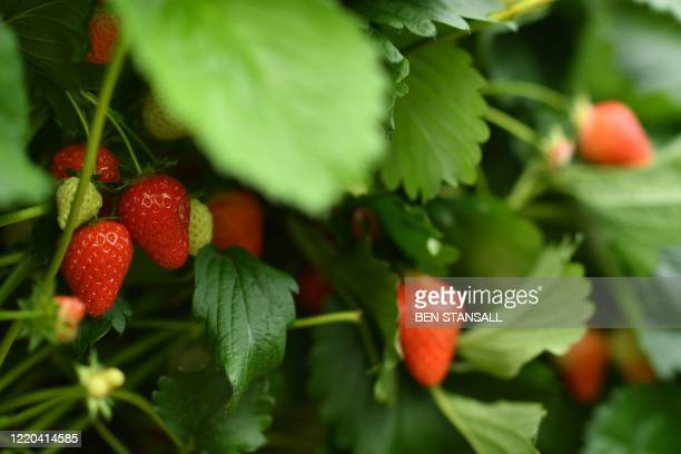 Strawberries are seen at Lower Ladysden Farm in Kent southeast England on June 16 2020 Lower Ladysden Farm are allowing 'pick your own' fruit with...