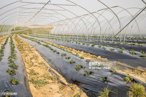 strawberries cultivated on greenhouse - hainaut stock pictures, royalty-free photos & images