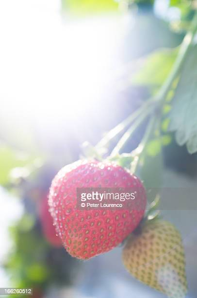 Strawberries glowing in the light