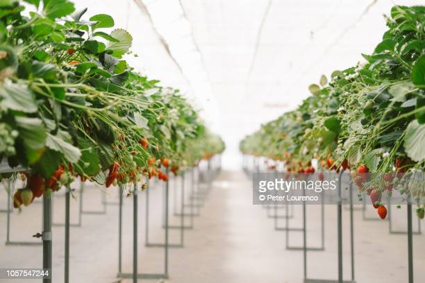 Strawberries growing