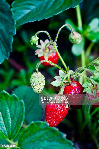 strawberries growing - strawberry fields stock photos and pictures