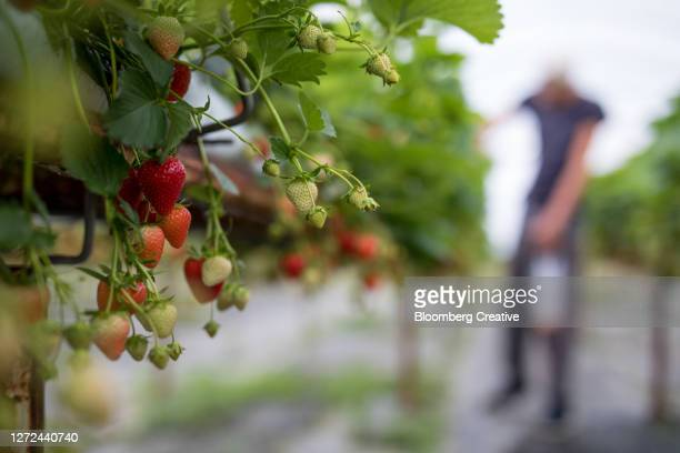 strawberries - cultivated stock pictures, royalty-free photos & images