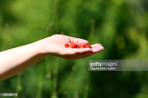 strawberries. ripe strawberries in the palm of a girl's hand. high quality photo - ニジニ・ノヴゴロド州 ストックフォトと画像