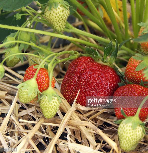 Erdbeeren Ripening