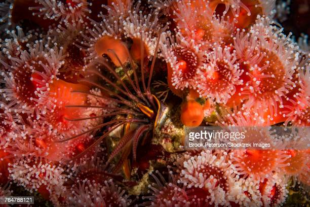 Strawberry anemones surround a barnacle, Monterey, Central California.