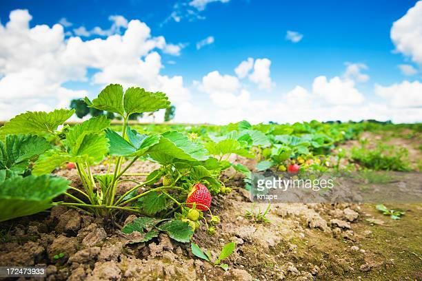 Strawberry field in early summer link