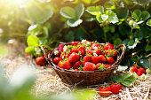 Strawberry field on fruit farm. Berry in basket.