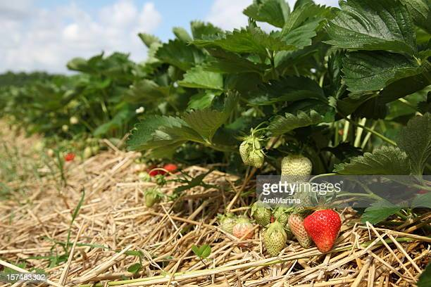 strawberry field - strawberry fields stock photos and pictures