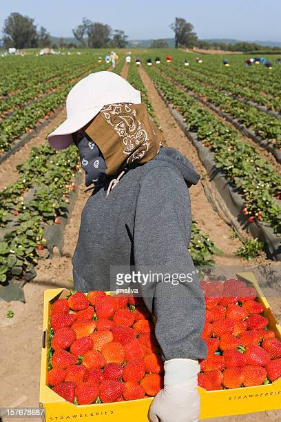 strawberry field - farm worker stock pictures, royalty-free photos & images