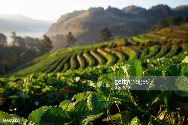 Strawberry Field with Sunrise in Chiangmai the North of Thailand.