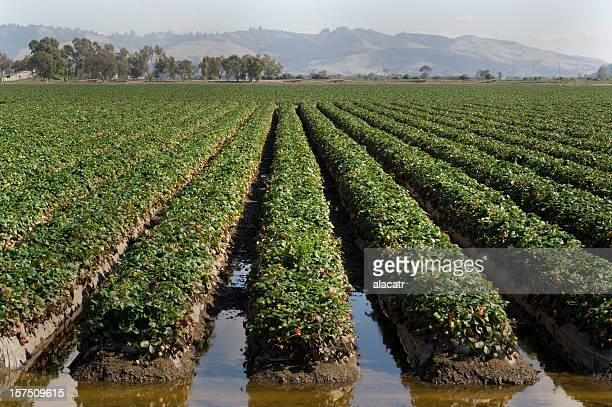 strawberry fields - strawberry fields stock photos and pictures