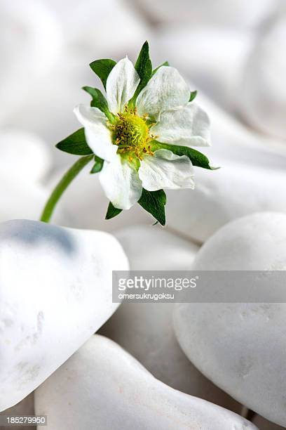 Strawberry Flower with White Pebbles