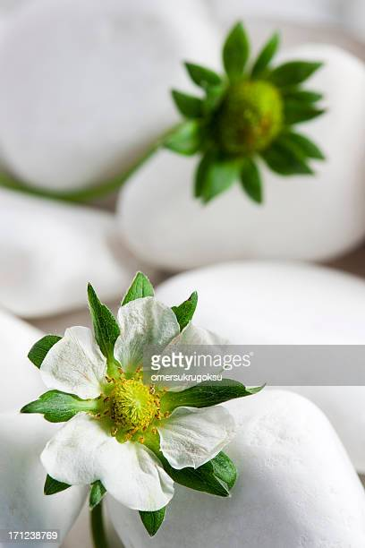 Strawberry Flowers with White Pebbles