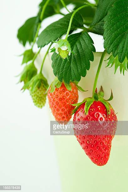 strawberry growth - unripe stock photos and pictures