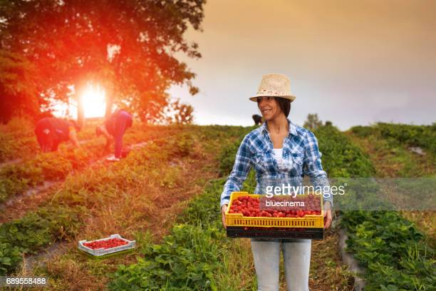 strawberry harvest - berry stock pictures, royalty-free photos & images