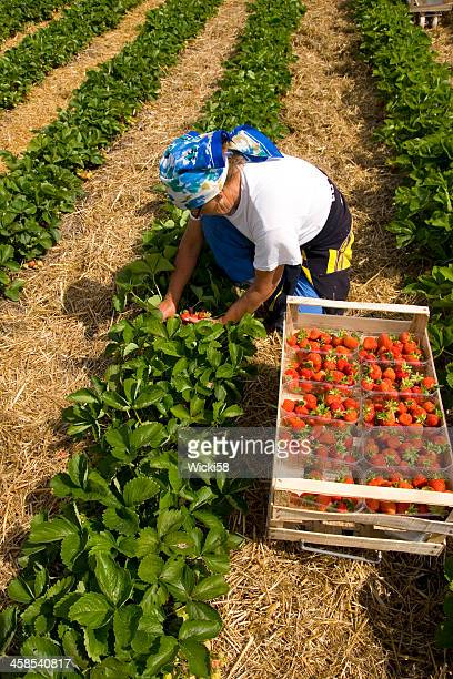 strawberry harvesting season - migrant worker stock photos and pictures