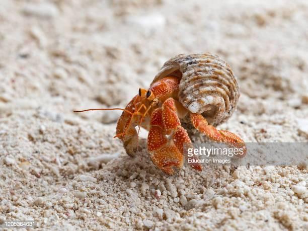 Strawberry Hermit Crab Coenobita perlatus Wizard Island, Cosmoledo Atoll, Seychelles.