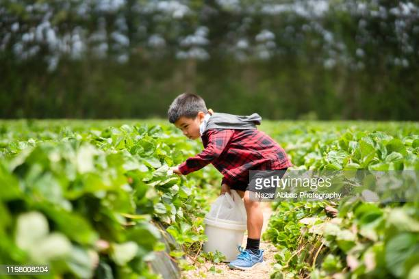strawberry picking is fun. - nazar abbas photography stock pictures, royalty-free photos & images