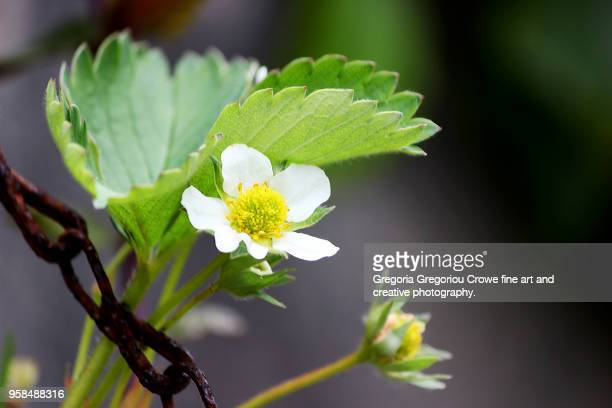 strawberry plant blossom - gregoria gregoriou crowe fine art and creative photography. stock pictures, royalty-free photos & images