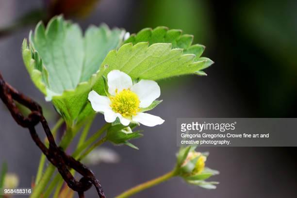 strawberry plant blossom - gregoria gregoriou crowe fine art and creative photography. photos et images de collection