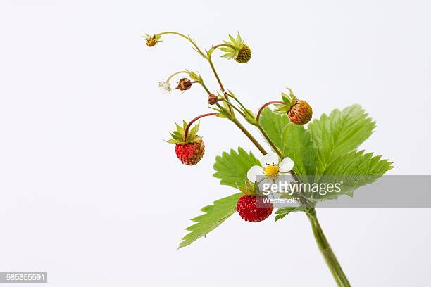 strawberry plant, fragaria - strawberry fields stock photos and pictures