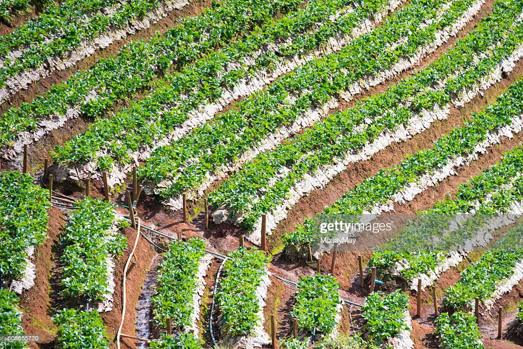 strawberry plantation beautiful landscape in Chiang Mai : Stock Photo