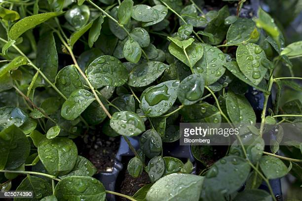 Strawberry plants grow inside a greenhouse at the Driscoll's Inc facility on the Cassin Ranch in Watsonville California US on Monday Sept 19 2016...