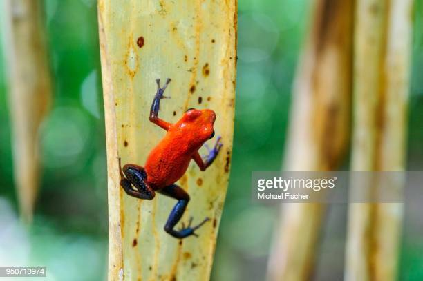 Strawberry poison-dart frog, also blue jeans frog (Oophaga pumilio) climbing on a leaf, rainforest, Alajuela province, Costa Rica