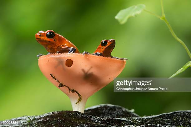 Strawberry poison-dart frog pair inside fungus