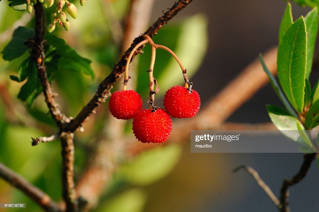 Strawberry tree (Arbutus unedo) : Stockfoto