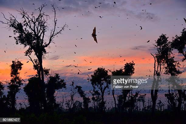 Straw-coloured Fruit Bats -Eidolon helvum-, in flight at first light, Kasanka National Park, Zambia