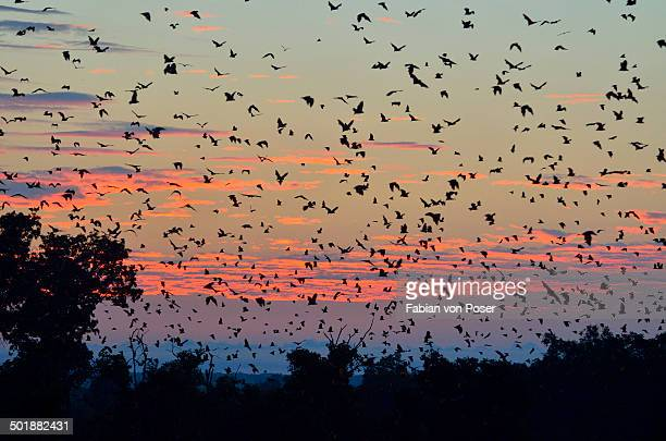 straw-coloured fruit bats -eidolon helvum-, in flight at first light, kasanka national park, zambia - flying fox stock pictures, royalty-free photos & images