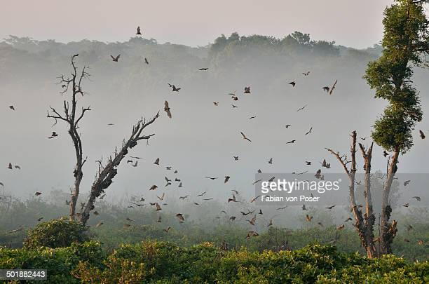 Straw-coloured Fruit Bats -Eidolon helvum-, in flight, Kasanka National Park, Zambia