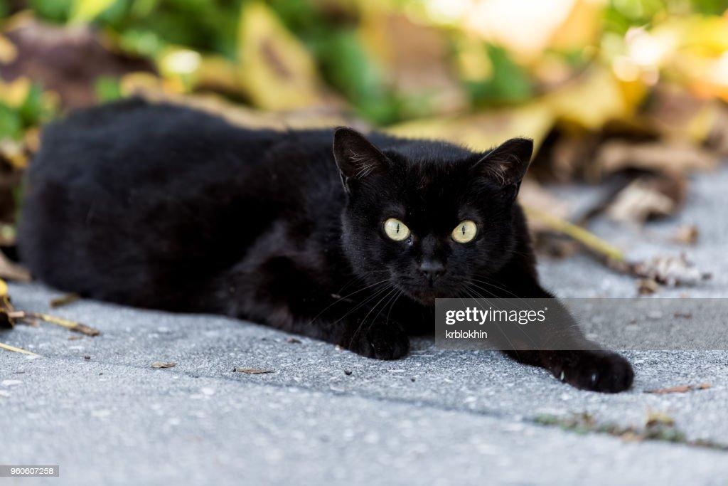 Stray black cat with piercing green eyes sitting on sidewalk streets in Sarasota, Florida : Stock Photo