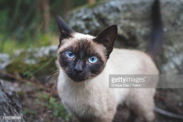 a stray burmese cat in the forest, galicia, spain. - burmese cat stock pictures, royalty-free photos & images