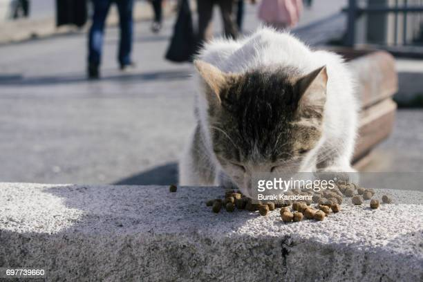 Stray cat eating cat food