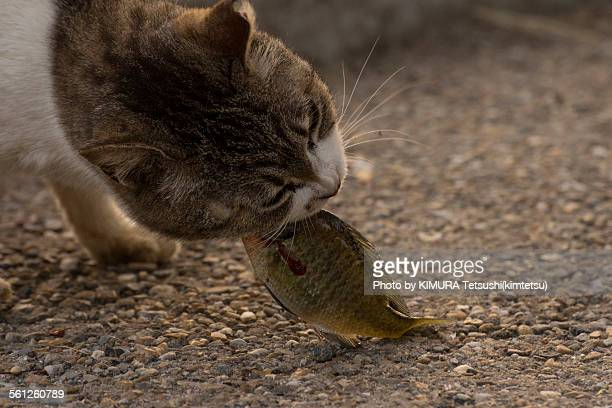 Stray Cat eating Fish (Bluegill)